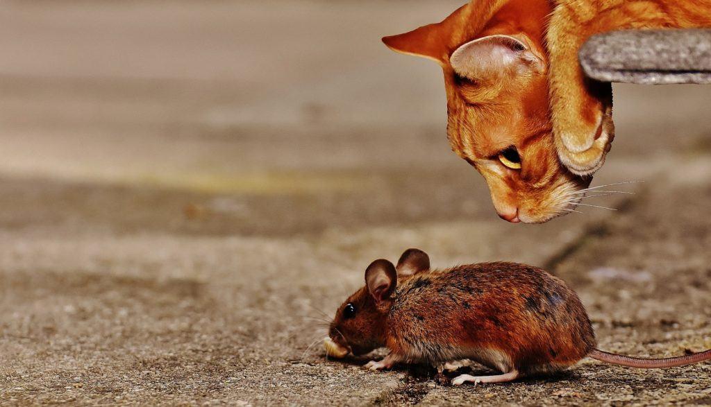 Die Maus als Hauptnahrung der Katze